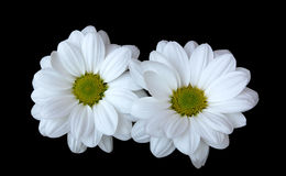 Daisies. Isolated white daisies on black background Royalty Free Stock Image