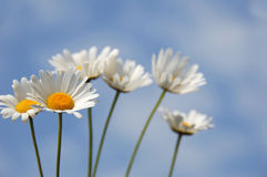 Daisies. Towards a blue sky Stock Photos