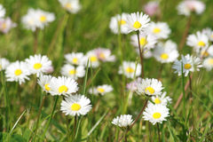 Daisies. Background, A grass field with beautiful daisies royalty free stock images