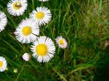 Daisies. Spring Daisies Royalty Free Stock Image