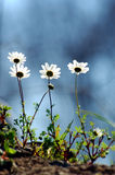 Daisies. In spring shooted from the ground level with the sky in the background Stock Photography