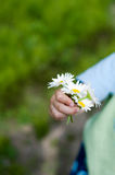 Daisies. Pretty daisies being held by the hand of a child Royalty Free Stock Image