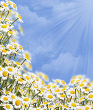 Daisies. Against blue sky with copy space Stock Image