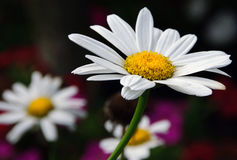 Daisies. Closeup of blooming Shasta daisies in a meadow Royalty Free Stock Photography