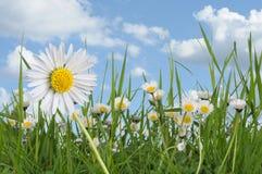 Daisies. Daisy and daisies meadow springtime Stock Photos