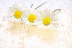 Daisies. Three daisies in the springtime Stock Photos