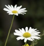 Daisies Royalty Free Stock Photo