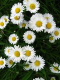 Daisies. Flowers in a green meadow - spring, bellis perennis stock photos