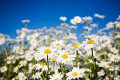 Daisies. Field of daisies against bright blue sky Stock Photos