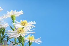 Daisies. Wild daisies on a blue background Stock Photos
