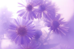 Daisies. Wild daisies on a purple background Royalty Free Stock Photo