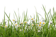 Daisies. Daisy daisies flowers springtime meadow Stock Images