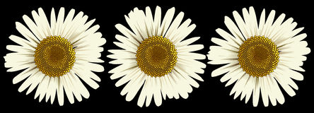Daisies. Three  dasies on a black background Stock Photos