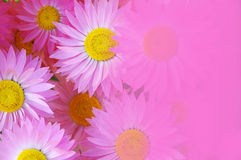Daisies. A background of bright pink daisies royalty free stock photos