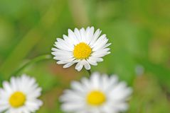 Daisies. White daisies on a meadow Royalty Free Stock Photography