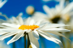 Daisies Stock Photos