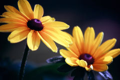 Daisies. Two Daisies Close up, beautiful flowers Royalty Free Stock Photo