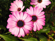 Daisies. Purple and pink daisies close up background Stock Images