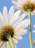 Daisies Stock Image