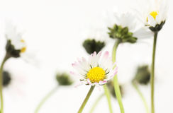 Daisies. Group of daisies on white, selective focus Royalty Free Stock Photo