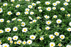 Daisies. Field of white daisies and lush green foliage Royalty Free Stock Photos