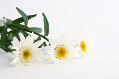 Daisies. Daisy blooms on white background Royalty Free Stock Photo