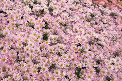 Daisies. Pink Daisies Royalty Free Stock Photos