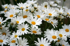 Daisies. In a garden Stock Images