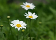 Daisies. Focus on the front daisy Royalty Free Stock Photos