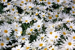 Free Daisies 69 Royalty Free Stock Images - 147629