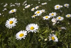 Daisies. Bunch of daisies in the grass Royalty Free Stock Photo