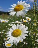 Daisies. In field Royalty Free Stock Photos