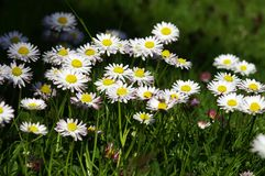 Daisies. A bunch of daisies in the field Royalty Free Stock Image