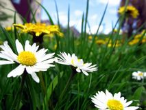 Daisies. Flowers in a meadow background meadow,houses,sky stock photography