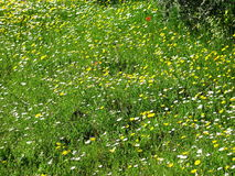 Daisies. A field full of daisies Royalty Free Stock Images