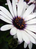 Daisies. Close up Royalty Free Stock Photos