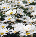 Daisies. In meadow Stock Photography