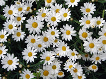 Daisies. In meadow Royalty Free Stock Images