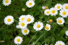 Daisies. A group of Daisies on the grass royalty free stock photo