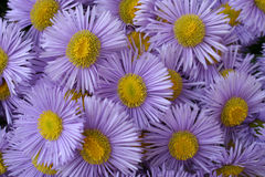 Daisies. Blue daisies Stock Photography