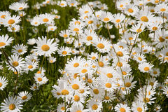Daisies. Meadow with daisies in june Royalty Free Stock Photography