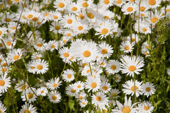 Daisies. Meadow with daisies in june Stock Image