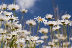 Daisies. Meadow with daisies in june Stock Photo