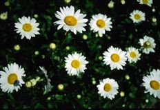 Daisies. Summer shot of daisies in bloom and daisies about to bloom Royalty Free Stock Photos