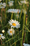 Daisies. Daisy field on sunset Royalty Free Stock Photos