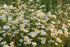 Daisies. Daisy field on sunset Stock Photo