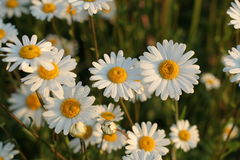 Daisies. Daisy field on sunset Royalty Free Stock Photo