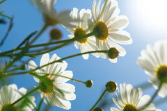 Daisies against blue sky Stock Photography