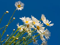 Daisies against blue sky Royalty Free Stock Photo
