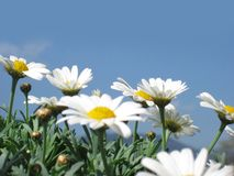 Daisies against the blue sky Royalty Free Stock Photos